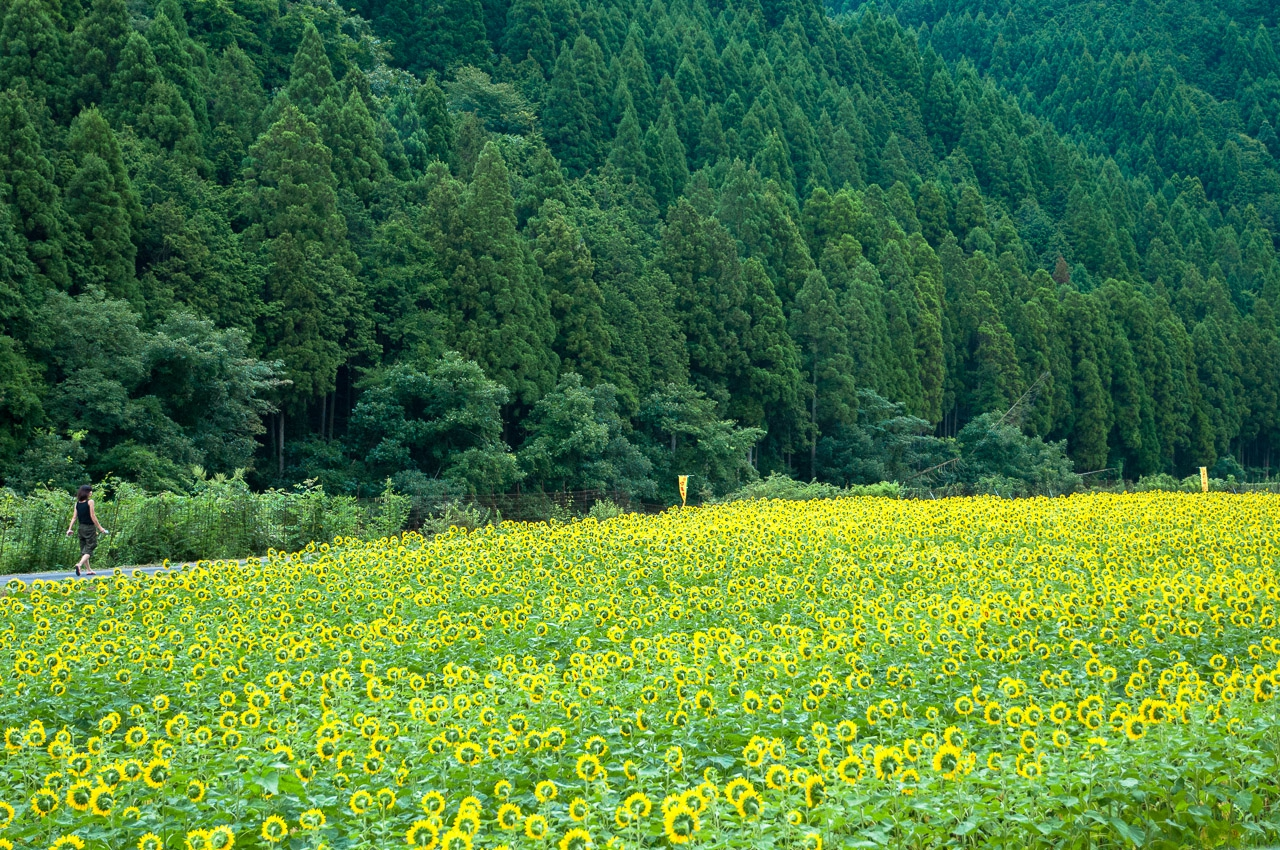 sunflowerfield, hyogo