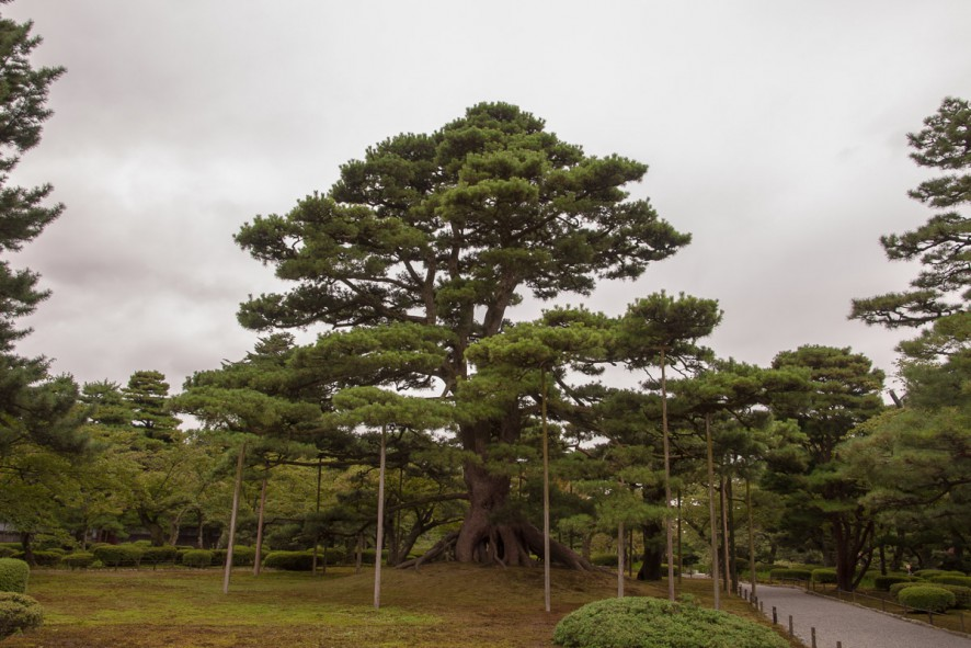 Neagarubinatsu - a majestic pine tree (Raised Root Pine Tree)