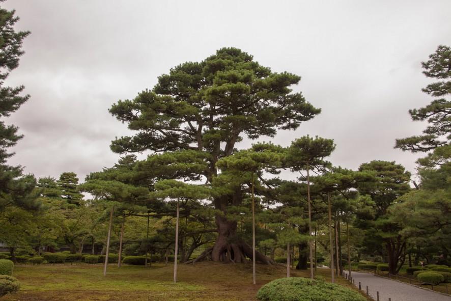 Neagarubinatsu - a majestic pine tree (Raised Root Pine Tree)