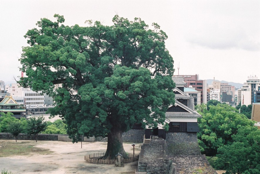 The grand old Ginko Tree of the Castle